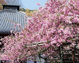 花や植物にあふれる光則寺内でも、ひときわ名高い樹齢200年のカイドウ(光則寺)