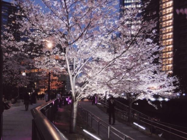 目黒川親水護岸のライトアップされた夜桜