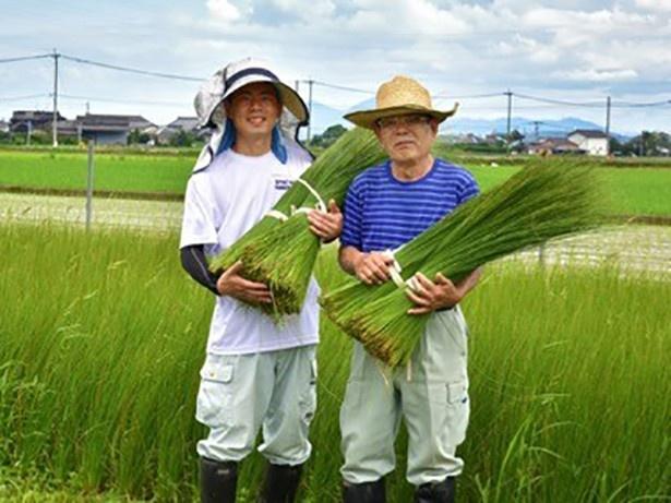 原料の食用いぐさは熊本県八代市で栽培。化学合成農薬・化学肥料はもちろん使いません