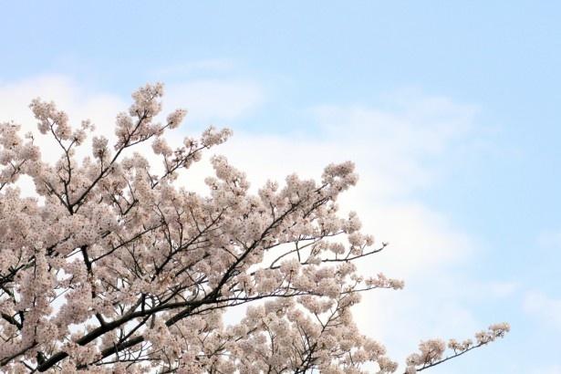 出不精や花粉症の人も楽しめる画期的なアイディア「エア花見」