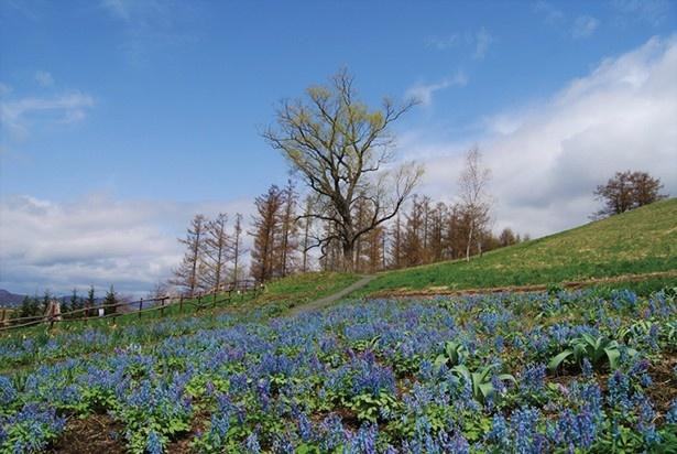 日当たりのよい射的山の斜面に可憐なエゾエンゴサクが花開きます