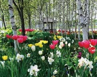 園内の白樺の小道にチューリップが咲き始めるのは5月上旬ころです