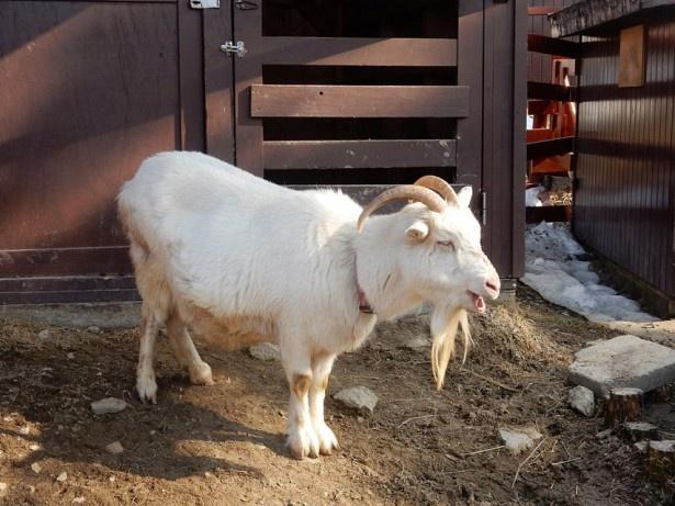 旭山動物園・「こども牧場」のヤギ