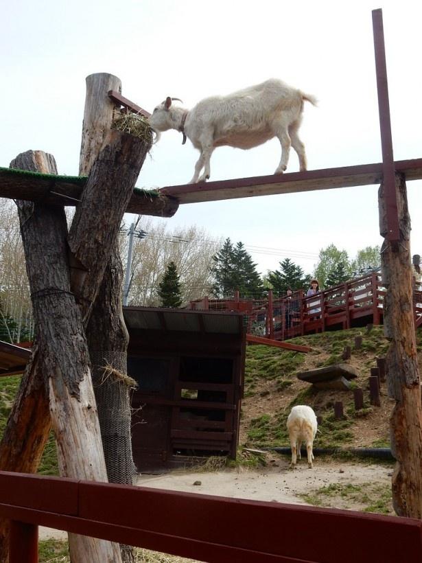 旭山動物園・「こども牧場」のヤギ。高いところも平気