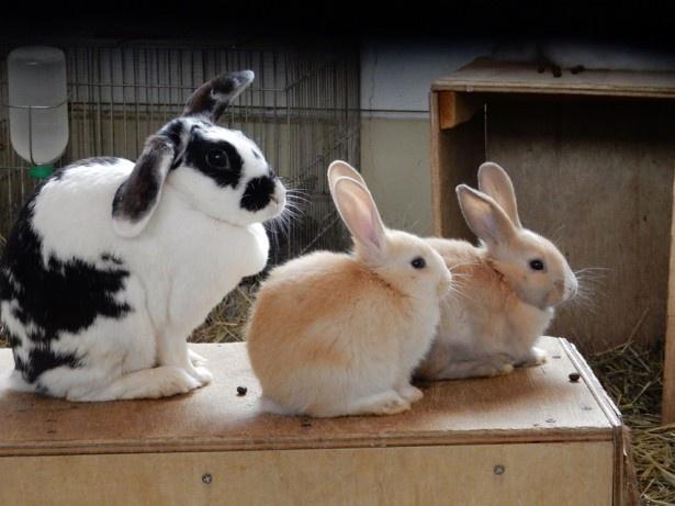 旭山動物園・「こども牧場」のカイウサギ