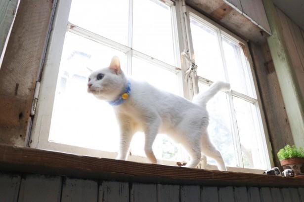 窓際をテクテク歩くあなご