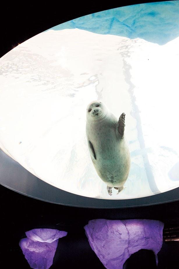 【写真を見る】ワモンアザラシは、氷上からのほか世界最大級の天井ドーム型水槽からも水中の姿を見られる/北極圏ゾーン