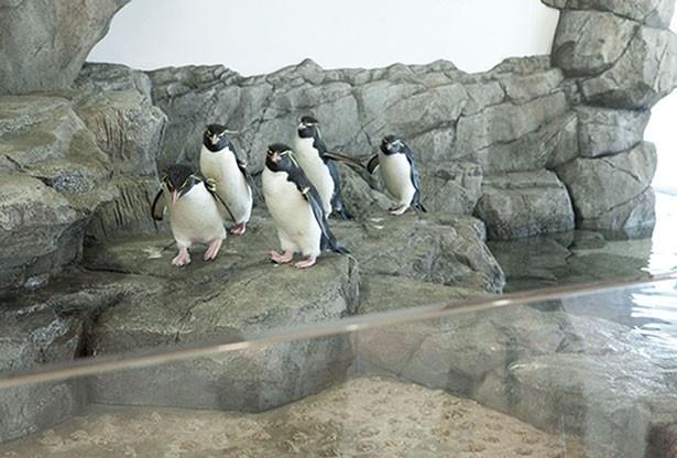 イワトビペンギンのくちばしや羽の質感など、細かい部分まで観察できるほど間近/「フォークランド諸島」ゾーン
