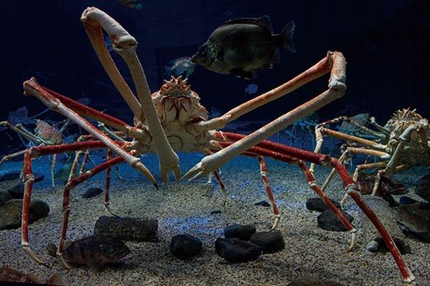 オスは脚を広げると3m以上にもなるタカアシガニ。迫力の姿を観察してみて/日本海溝