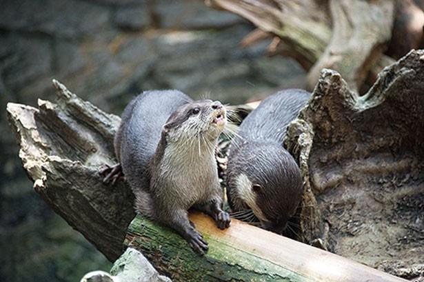 カワウソのなかでも最も小型のコツメカワウソ。キュートな見た目に癒されよう/日本の森
