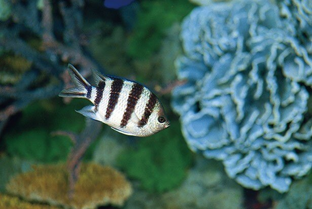 ロクセンスズメダイをはじめ、色とりどりの魚たちが優雅な姿を見せてくれる/グレート・バリア・リーフ