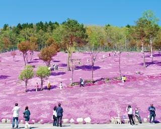 かぐわしい香りとともにピンクの絨毯が丘に咲き誇ります!時期に合わせてイベントも…