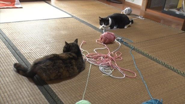 きゃりーと一緒に毛糸で遊ぶひげ(写真左から)