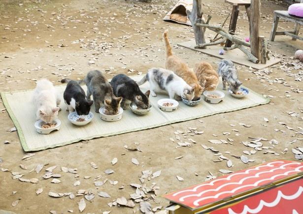 仲良く並んで食事をするネコたち