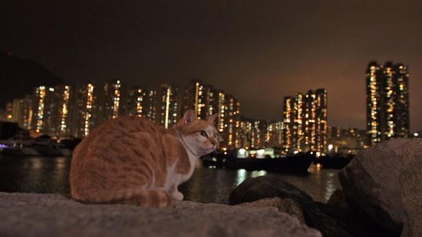 香港の美しい夜景の中、まったり過ごすネコたち