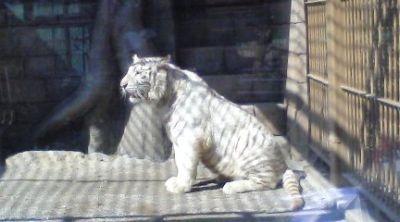 たたずまいはネコと同じだが、サイズは数倍