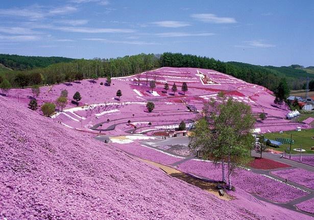 山肌一面に満開の芝桜を観に行こう! 他にもおすすめの花イベントが…