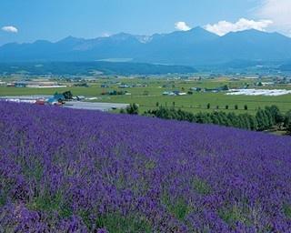 広大なラベンダー畑で有名な、北海道でも有数の人気を誇る観光ファーム「ファーム富田」