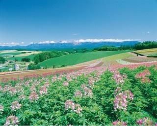 十勝岳連邦や美瑛の丘風景をバックに広がる観光花畑「四季彩の丘」