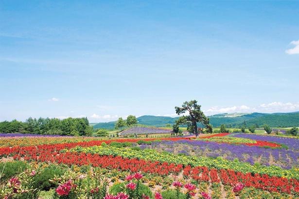ぜるぶの丘/色とりどりの花で描く美しい丘風景
