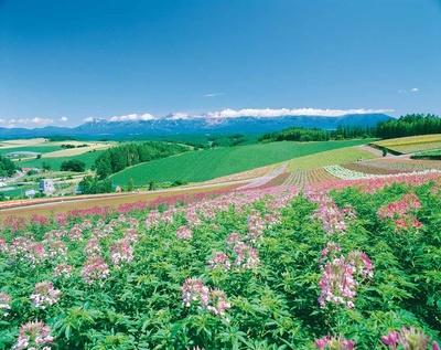 四季彩の丘/美瑛の丘を一面の花畑が埋め尽くす!