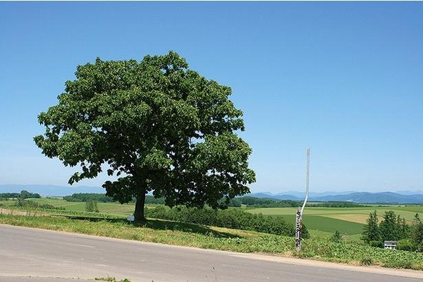 セブンスターの木/丘の上に力強くそびえるカシワの木