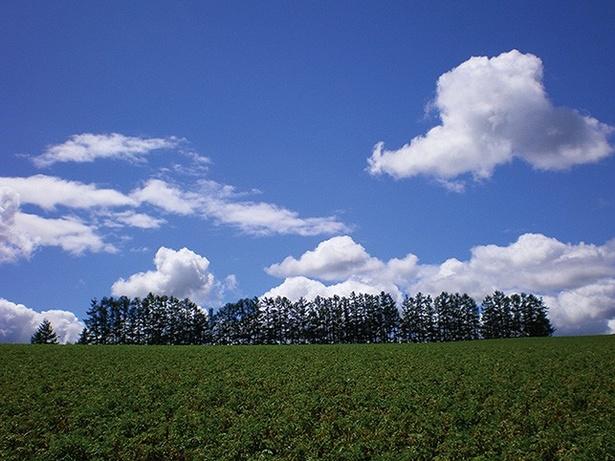 マイルドセブンの丘/防風林と丘陵が生み出した絶景!