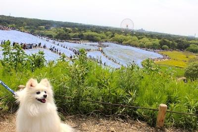 丘から見るネモフィラはまさに青の絨毯