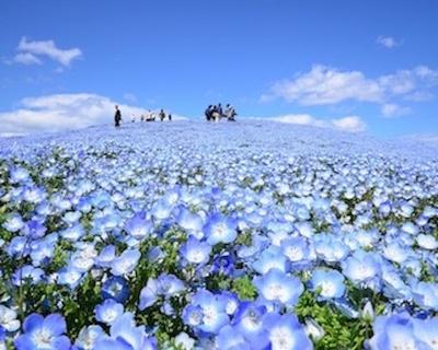 死ぬまでに行きたい世界の絶景にも選ばれたネモフィラ畑