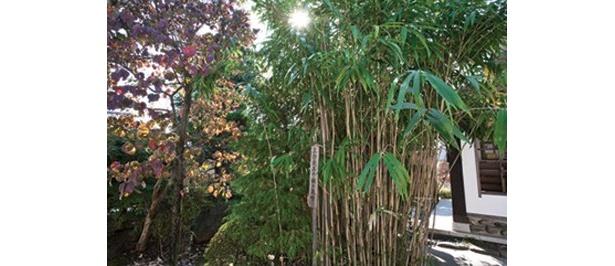 「土方歳三資料館」には、歳三が植えたという矢竹が今も茂っている