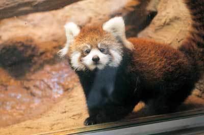 こちらもぬいぐるみのようなレッサーパンダの赤ちゃん(多摩動物公園)