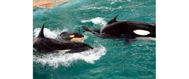 シャチの出産は国内でも珍しい(鴨川シーワールド)