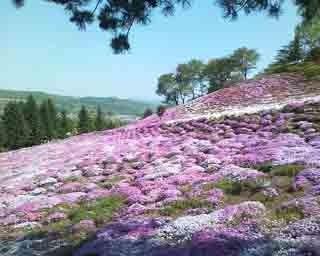 足寄町・里見が丘公園の芝桜風景。次に向かう、十勝の行列グルメは……