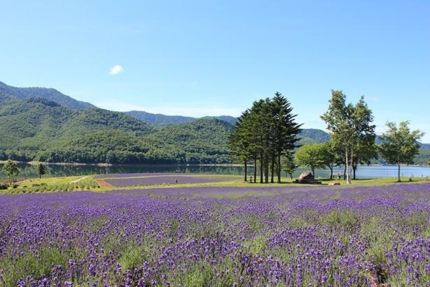かなやま湖畔鹿越園地ラベンダー園