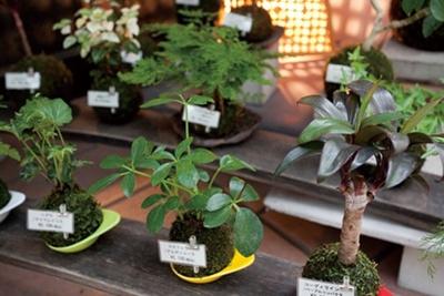 よりどりみどりのミニ盆栽や苔玉などがズラリ。お気に入りの植物を探してみよう