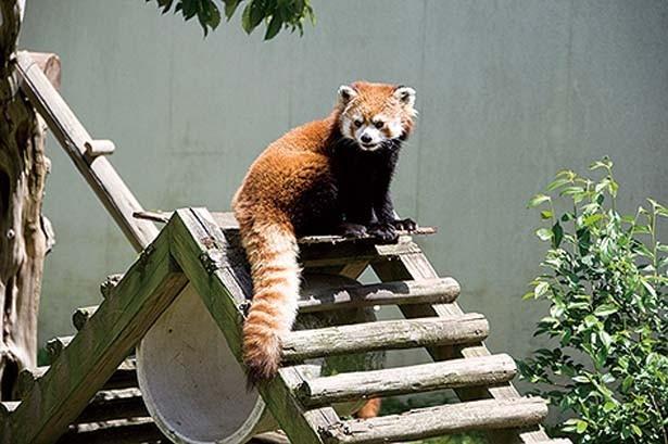 【ワンダーガーデン】レッサーパンダやコツメカワウソ、リスザルなどに出会える。レッサーパンダは昼は木の上で休み、涼しい朝と夕方に活動する/ひらかたパーク