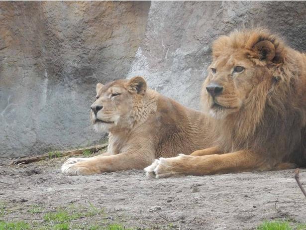 旭山動物園・「もうじゅう館」のライオン