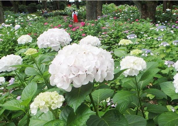 【写真を見る】初夏を感じさせてくれるあじさいの花々。白、ピンク、紫など、色鮮やかな品種がそろう
