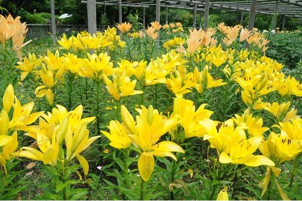 苑内の神苑花庭園では、約30品種、5000本のユリの花が開花