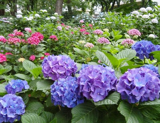 境内西側奥に広がるあじさい苑には、約100品種、3500株の色鮮やかなあじさいが咲き誇る