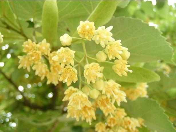 参道に隣接する恵光院では、珍しい菩提樹(ぼだいじゅ)の花も見ることができる