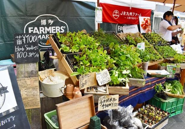 「JR九州ファーム」では、ハーブやパクチーの苗なども販売する