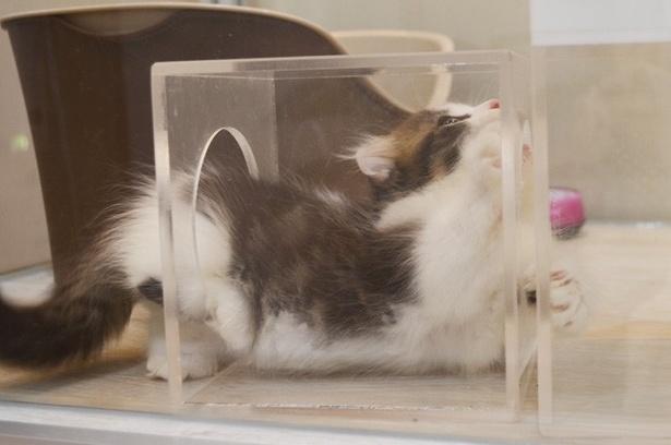 アクリルボックスに入って遊ぶ子ネコ