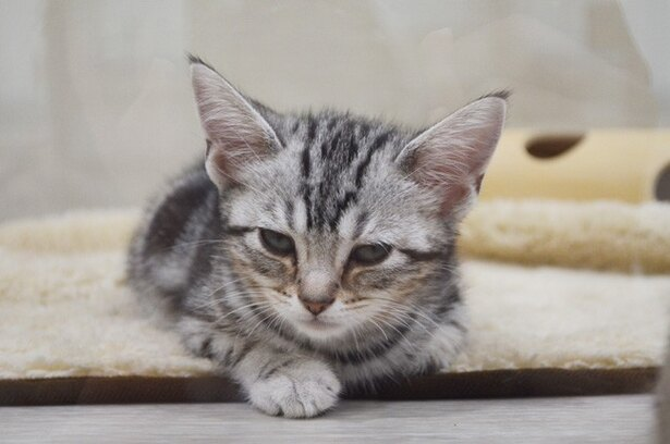 アメリカンショートヘアーの子ネコ