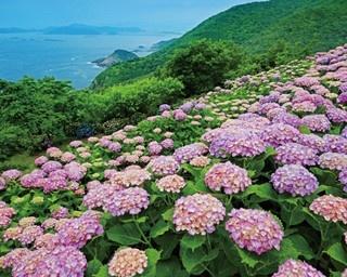 園内には80種200万本のアジサイが咲き誇る