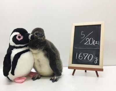 ぬいぐるみと大きさが同じになった赤ちゃんペンギン