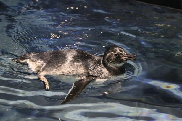 【写真を見る】まだ泳ぐことに慣れていない赤ちゃんの様子