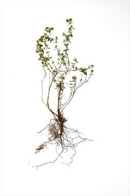 分泌腺が集中している部位は花びらや葉、根、果皮など植物によってさまざま