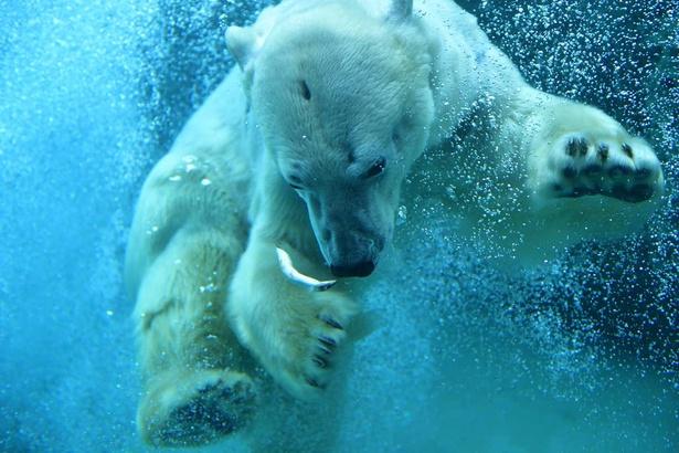 旭山動物園・迫力ある姿が見られる、ホッキョクグマの「もぐもぐタイム」