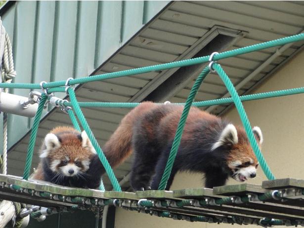 旭山動物園・「レッサーパンダ舎」の吊り橋を歩く姿